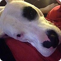 Adopt A Pet :: Helo - Virginia Beach, VA