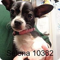 Adopt A Pet :: Selena - Greencastle, NC