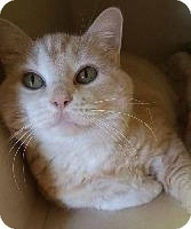 Domestic Shorthair Cat for adoption in Louisville, Kentucky - Kiki (COURTESY POST)