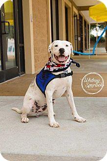 American Bulldog Mix Dog for adoption in Dawson, Georgia - Jax