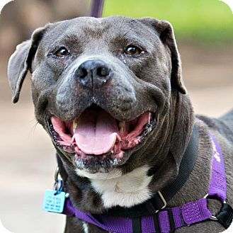 American Staffordshire Terrier Mix Dog for adoption in Houston, Texas - Ciara