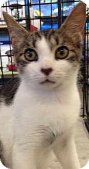 Domestic Mediumhair Kitten for adoption in Kingwood, Texas - George