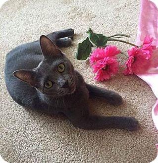 Domestic Shorthair Cat for adoption in Horsham, Pennsylvania - Cheyanne