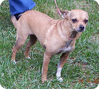 Chihuahua/Chinese Crested Mix Dog for adoption in West Sand Lake, New York - Sophie(8 lb) Perfect Lil' Girl
