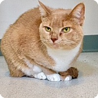Domestic Shorthair Cat for adoption in Victor, New York - Kes