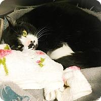 Adopt A Pet :: Cat - Webster, MA