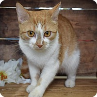 Domestic Shorthair Cat for adoption in Front Royal, Virginia - Peanut