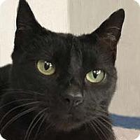 Domestic Shorthair Cat for adoption in Tiburon, California - Mari