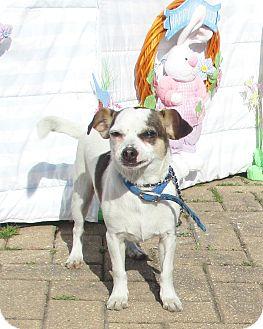 Rat Terrier Mix Puppy for adoption in West Chicago, Illinois - Laurent