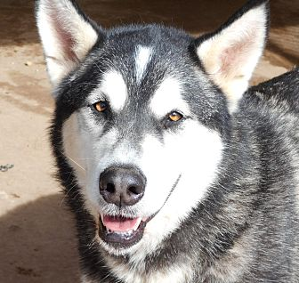 Alaskan Malamute Mix Dog for adoption in Sugar Land, Texas - Kyra