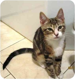 Domestic Shorthair Kitten for adoption in Bayonne, New Jersey - Lucy