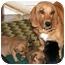 Photo 2 - Dachshund Mix Dog for adoption in Glenpool, Oklahoma - Minnie