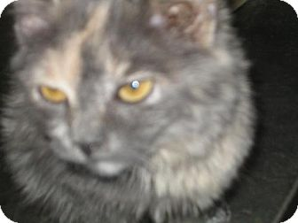 Domestic Mediumhair Kitten for adoption in Hilham, Tennessee - Anastasia