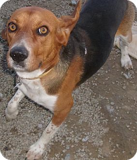 Beagle Dog for adoption in Coudersport, Pennsylvania - SNOOP DOG