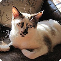 Adopt A Pet :: Violet - Edmond, OK