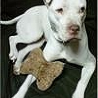 Pit Bull Terrier Dog for adoption in Freeport, New York - Bianca