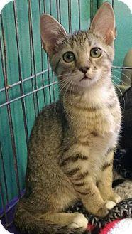 Domestic Shorthair Kitten for adoption in Seminole, Florida - Simba