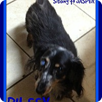 Dachshund Dog for adoption in Manchester, New Hampshire - RILEEY