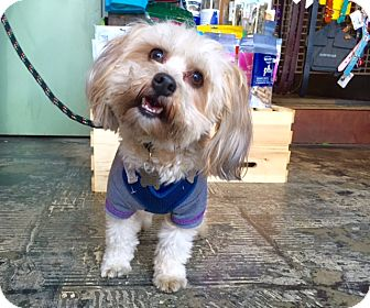 Lhasa Apso Mix Dog for adoption in Los Angeles, California - Frankie