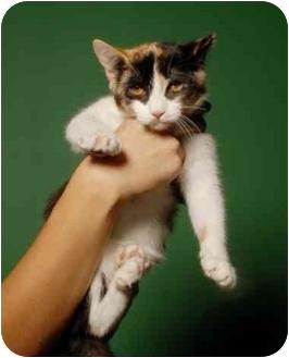 Domestic Shorthair Cat for adoption in New York, New York - Turbo