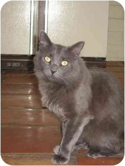 Domestic Longhair Cat for adoption in Scottsdale, Arizona - Spanky