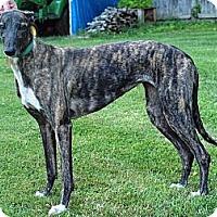 Adopt A Pet :: Dazzle - Douglas, MA