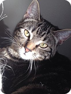 Domestic Shorthair Cat for adoption in Mount Laurel, New Jersey - Darla