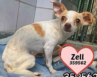Chihuahua Dog for adoption in San Antonio, Texas - 359562 Zell