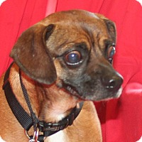 Pug/Beagle Mix Dog for adoption in Umatilla, Florida - Bumper