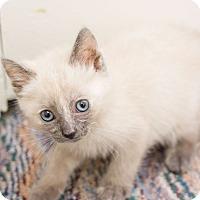 Adopt A Pet :: Angel II - Fountain Hills, AZ