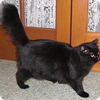 Domestic Longhair Cat for adoption in Chesterland, Ohio - Jasmine