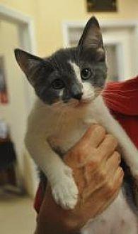 Domestic Shorthair Kitten for adoption in Pompano Beach, Florida - Wisk