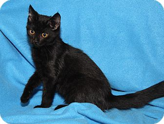 Domestic Shorthair Kitten for adoption in Marietta, Ohio - Seymour (Neutered)