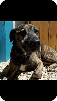 American Pit Bull Terrier/Plott Hound Mix Dog for adoption in Fulton, Missouri - Pax - Georgia