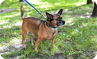 Chihuahua Mix Dog for adoption in Jupiter, Florida - Milo