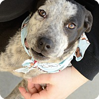 Adopt A Pet :: Archie - Muldrow, OK