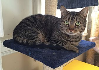 Domestic Shorthair Cat for adoption in Middletown, New York - Crab