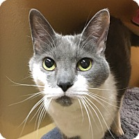 Adopt A Pet :: Fiona - Lap Cat - Fairfax, VA