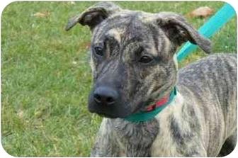 Terrier (Unknown Type, Small)/Plott Hound Mix Dog for adoption in Marysville, Ohio - Gabby