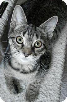 Domestic Shorthair Kitten for adoption in Grand Rapids, Michigan - Nick