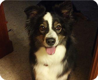 Australian Shepherd Dog for adoption in Minneapolis, Minnesota - Bella