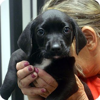 Labrador Retriever Mix Puppy for adoption in Greencastle, North Carolina - Ebony