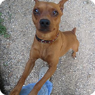 Miniature Pinscher Dog for adoption in Geneseo, Illinois - Red