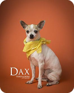 Chihuahua Mix Dog for adoption in Dallas, Texas - Dax