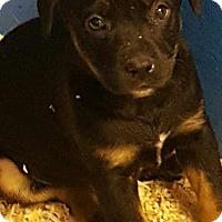 Adopt A Pet :: GRACE LITTER BLACK/TAN - Pompton Lakes, NJ