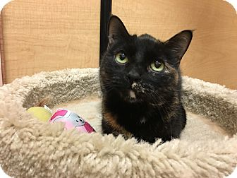 Domestic Shorthair Cat for adoption in Foothill Ranch, California - Mindy