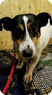 Jack Russell Terrier Dog for adoption in Union Grove, Wisconsin - Rally aka Stacy