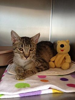 Domestic Mediumhair Cat for adoption in Alamogordo, New Mexico - Samantha