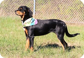 Rottweiler Mix Dog for adoption in Lima, Pennsylvania - Roxy