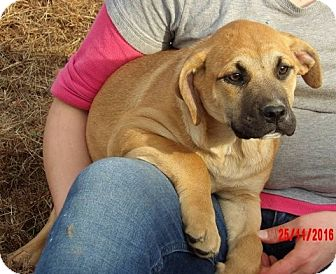 German Shepherd Dog/English Bulldog Mix Puppy for adoption in West Sand Lake, New York - Wren (20 lb) Unique & Smart